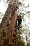 Gloucester-Baum-Aufstieg lizenzfreie stockbilder