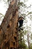 Gloucester Drzewna wspinaczka Obrazy Royalty Free