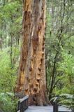 Gloucester drzewo Obrazy Royalty Free