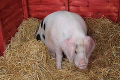 Gloucester Old Spot Pig. Royalty Free Stock Photography
