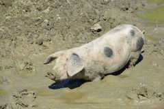 Gloucester Old Spot Pig Royalty Free Stock Image