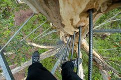 Gloucester Tree Climb. Pemberton - Australia royalty free stock photos