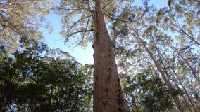 Gloucester tree in Gloucester national park of western Australia