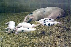 gloucestershire老猪地点 免版税库存图片