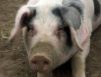 Gloucestershire Old Spot Pig. Portrait of the rare breed of pig the Gloucestershire Old Spot Stock Photo