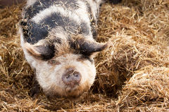 Gloucestershire Old Spot Pig Stock Photo