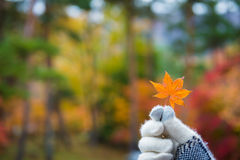 Glove hand holding orange maple leaf colorful forest blurred background Stock Photos