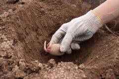 Gloved рука засаживая клубень картошки в землю Стоковая Фотография RF