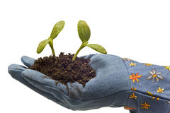 Gloved Hand With Baby Plants Stock Image