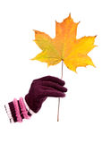 Gloved hand holding autumnal maple leaf. Royalty Free Stock Images