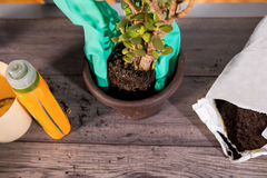 Gloved hand holding loam over a flower pot Stock Photo