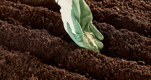 Gloved hand placing seeds in soil Royalty Free Stock Photo