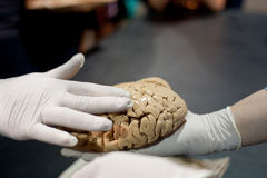 Gloved Hand Touches Human Brain At Science Expo Stock Image
