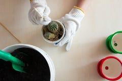 Gloved handen die de cactus van de pot proberen te krijgen Stock Afbeeldingen