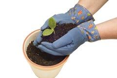 Gloved Handen die een Babyinstallatie planten stock afbeeldingen