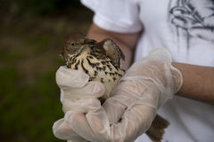 Gloved hands holding fearful Brown Thrasher (Toxostoma rufum) Royalty Free Stock Photo