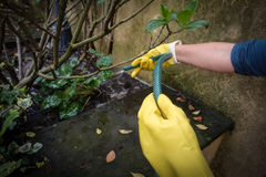Gloved Hands Watering Plants Royalty Free Stock Images