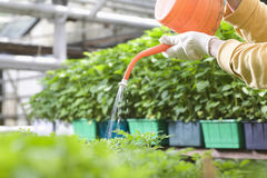 Gloved Hands Watering Plants In Greenhouse Royalty Free Stock Photo