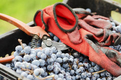 Gloves and secateurs in a crate with grapes. Selective focus Stock Photo