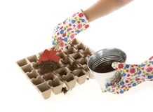 Gloves, Shovel Placing Soil into Compost Pots. Gardener wearing colorful flower patterned  gardening gloves is using a red shovel to place soil from a silver Stock Photos
