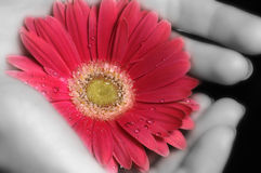 Glow. A pair of black and white hands holding a pink gerbera daisy stock photos