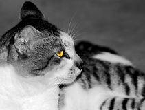 Glow in the Cat's eye. The picture of a cat which it eye will glow Stock Photography