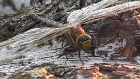 The glow of the dawn sun on the wings of a dragonfly sitting on a birch.  stock video