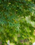 The glow of green tree leaves in the day light. The glow of green tree leaves in the sun light Royalty Free Stock Photo