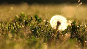 Bug flying near a dandelion at sunset. With the glow of the sunset light, a flying bug flies by a dandelion. Dreamy and beautiful, meditative and captivating stock footage