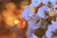 In glow. White inflorescences of a pear roll in fiery glow of the evening sun Royalty Free Stock Images