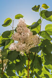 A glow of white lilac flowers on a branch with green leaves against a blue sky with a sun Royalty Free Stock Photo