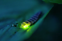 Glow worm. Light green bioluminescence Lampyris noctiluca glow-worm female Royalty Free Stock Image