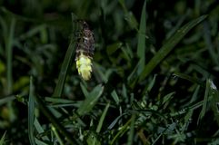 Glow worm at night Stock Photo