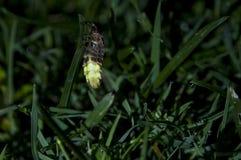 Glow worm at night. Glow-worm, Lampyris noctiluca in nature Stock Photo