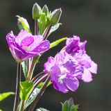 Glowing. A pretty purple weed glows in the sunshine royalty free stock photos
