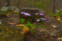 Glowing Anemone. Rue Anemone growing on the Forest floor Stock Photo