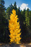 Glowing aspen tree in fall. Amazing lighting of aspen tree in the fall time Royalty Free Stock Images