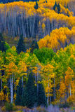 Glowing Aspen. The Aspen Trees of Ohio Pass outside of Crested Butte Colorado glow in the beautiful Autumn colors of yellow, gold and green stock image