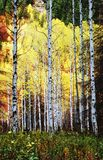 Glowing Aspens. Trunks of aspen trees in the wild forrest during fall stock photography