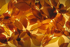 Glowing Autumn Leaves. A vibrant glowing back lit Autumn leaves collage. Section (2) of two Stock Images