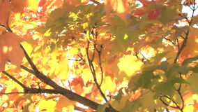 Glowing autumn leaves stock video footage