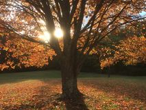 Glowing autumn maple foliage tree Royalty Free Stock Photo