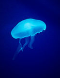 Glowing Blue Jellyfish Stock Photos
