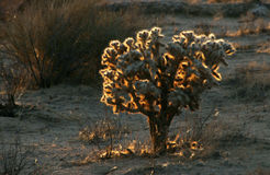 Glowing Cactus in the Mojave Desert Royalty Free Stock Image