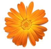 Glowing Callendula flower Royalty Free Stock Photography