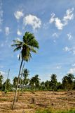Glowing of Cassava Plantation and the blue sky background royalty free stock image