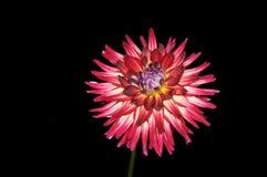 Glowing Dahlia Stock Photo