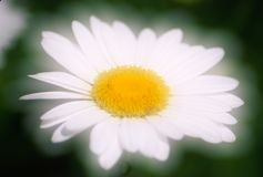 Glowing Daisy Stock Photography