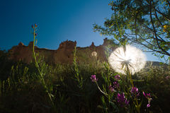 Glowing dandelion Royalty Free Stock Photo