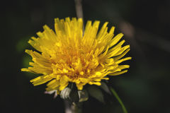 Glowing dandelion flower blooming in early spring Stock Photos